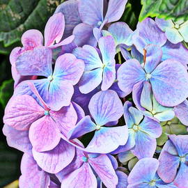 Periwinkle Blue and Pinkish Purple Hydrangeas by Carla Parris