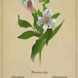 Spadecaller - Peruvian Lily Botanical