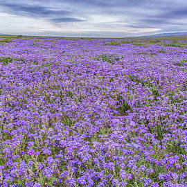 Marc Crumpler - Phacelia Field and Clouds