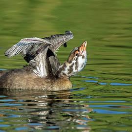 Tam Ryan - Pied-billed Grebe Chick Stretching