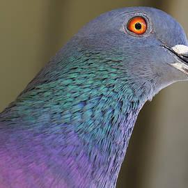 Pigeon Portrait by Jill Nightingale