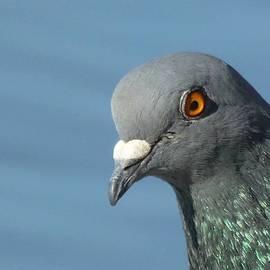 Tracey Harrington-Simpson - Pigeon