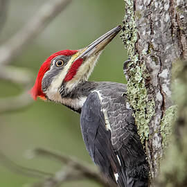 Pileated Woodpecker by Morris Finkelstein