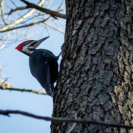 Ricky L Jones - Pileated Woodpecker
