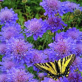 Pincushion Flowert With Tiger Swallowtail