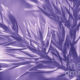 Pine Branch in Ultra Violet  by Anna Bliokh