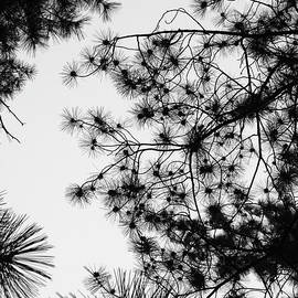 Pine Needle Abstract B W by David T Wilkinson