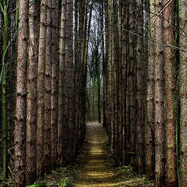 Douglas Milligan - Pine Path