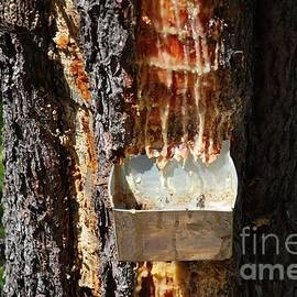 David Fowler - Pine resin gathering in Greece
