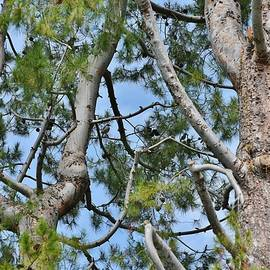 Linda Brody - Pine Tree with Two Jays in Tree II