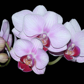 Judy Whitton - Pink and White Phalaenopsis Orchids