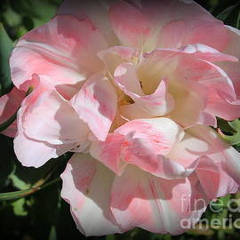 Dora Sofia Caputo Photographic Art and Design -  Pink and White Ruffled Tulip