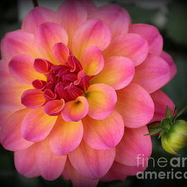 Dora Sofia Caputo Photographic Design and Fine Art - Pink and Yellow Dahlia