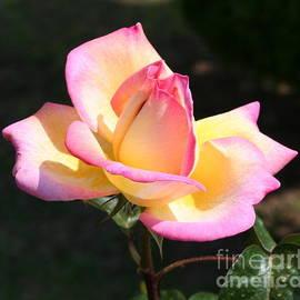 Nisha Verma - Pink and Yellow Rose Bloom