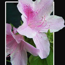 Pink Azalea by Jerry Griffin