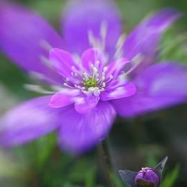 Veikko Suikkanen - Pink beauty II