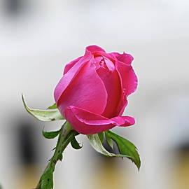 Pink Beauty by Lyuba Filatova