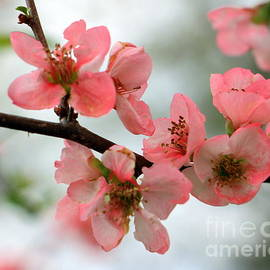 Charlene Cox - Pink blossoms in springtime