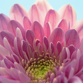 Pink Chrysanthemum by Yana Reint