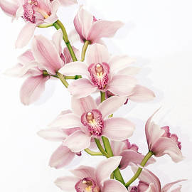 Shannon Smith - Pink Cymbidium Orchids