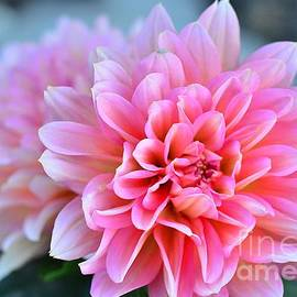 Pink Dahlia Glory by Debby Pueschel