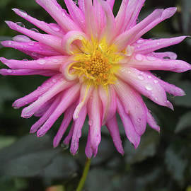 Jill Greenaway - Pink Dahlia in the Rain 2