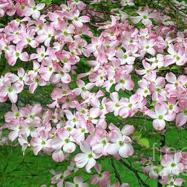 Pink Dogwood Flowers - Edward Fielding