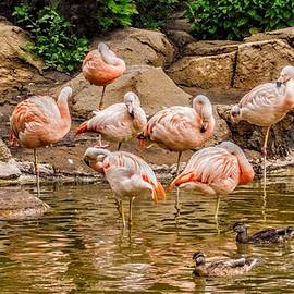 Pink Flamingos Live at the Como Park Zoo by Curtis Tilleraas