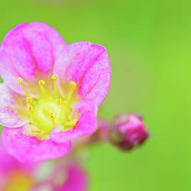 Anna Maloverjan - Pink flower macro