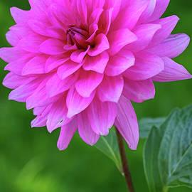 Juergen Roth - Pink Garden Flower