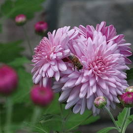 David T Wilkinson - Pink Garden Mum