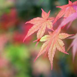 Pink Glow Maple by Vicki Hone Smith