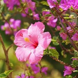 John Clark - Pink Hibiscus and Bougainvillea