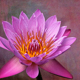 Pink Lady Water Lily by Judy Vincent