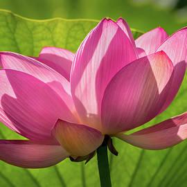 Pink Lotus Flower by Don Johnson