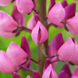 Pink Lupin - Tim Gainey