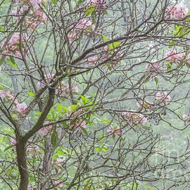 Chris Scroggins - Pink Mountain Laurel