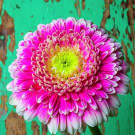 Pink Mum Green Wall - Garry Gay