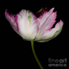 Pink Parrot Tulip by Oscar Gutierrez