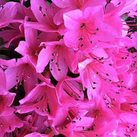 Sherry Hallemeier - Pink Passion in the Rain