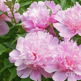Pink Peonies  by Regina Geoghan