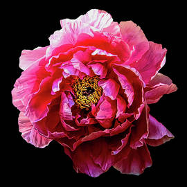Pink Peony on Black by Grace Iradian