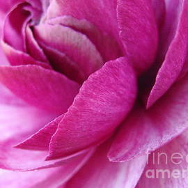 Pink Petal Abstract by Anne Ditmars
