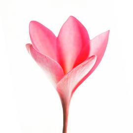 Pink Plumeria Bud.  by Sean Davey