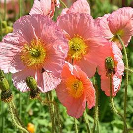Pink Poppies 2 by Linda Brody