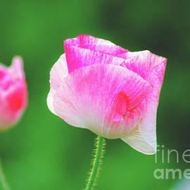 Pink Poppy by Neha Gupta