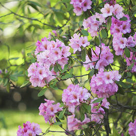 Pink Rhododendron Bloom by Jenny Rainbow