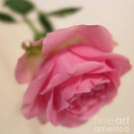 Pink Rose 4 by Tara Shalton