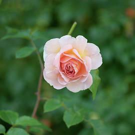 Aleksei lomanov Barsuk - Pink Rose