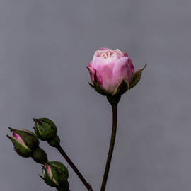 Tania Read - Pink Rose Buds